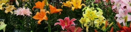 Как посадить лилии весной